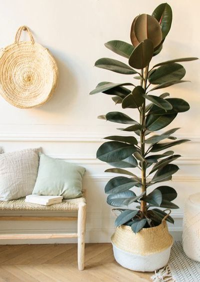 The Best Plants For Beginner: Rubber Tree (Ficus Elastica)
