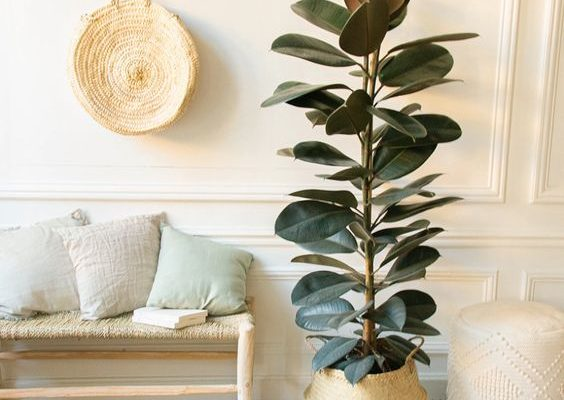The Best Plants For Beginner: Rubber Tree (Ficus Elastica)